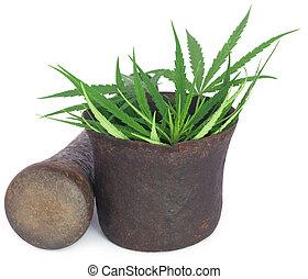 vindima, folhas, marijuana, cannabis, morteiro, ou