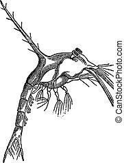 vindima, (monculus, engraving., zoe, taurus)