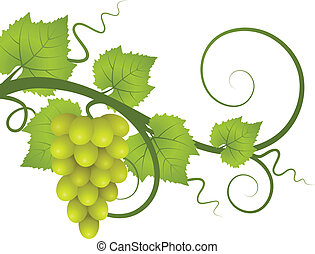 Vine. - A vine with a bunch of grapes. Vector illustration.