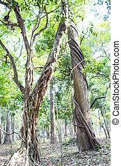 Vine around tree in Thailand forest