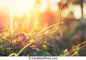 Vine creeping plant with sunlight shallow depth of field