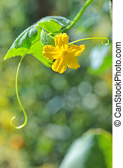 Vine cucumber leaves and flower isolated