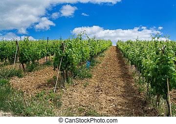 vine field in Torres Vedras Portugal.