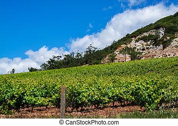 Vine fields in Torres Vedras Portugal.