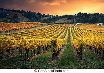 Vine Glow - Golden sunset over South Australian vines