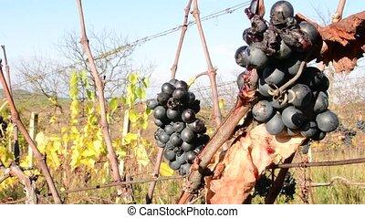 Vine grape in hand. Wine grower checks vine grapes. Vine grapes for ice wine.