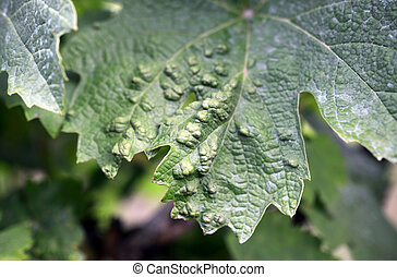 vine grape leaf disease - closeup of vine grape leaf disease...