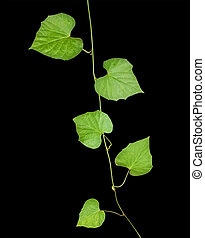 vine isolated on black background