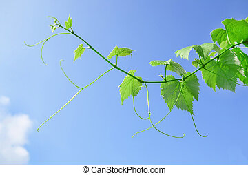 vine leaves and tendrils with blue sky background