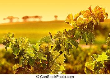 Vine Leaves - Closeup of vine leaves