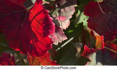 vine leaves in autumn colors - soon in a few days, the vines...