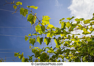 Vine leaves in full sun on blue sky background