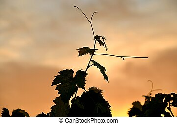 Vine leaves in sunset