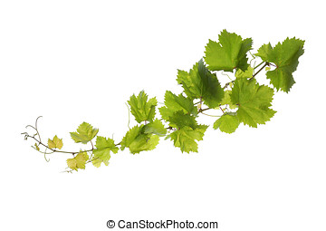 Vine leaves isolated on white - Branch of vine leaves...