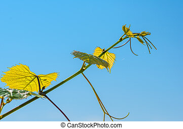 Vine leaves tendrils on blue sky