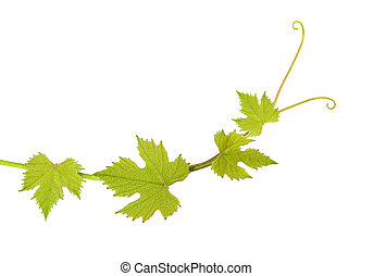 Vine leaves - Vine branch isolated on white background