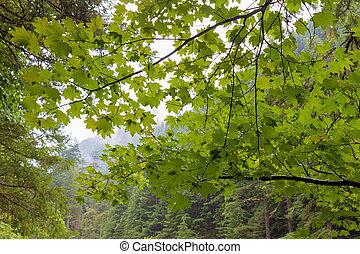Vine Maple at Columbia River Gorge