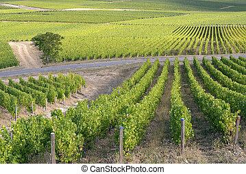 Vine near of Sancerre in France