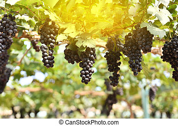 Vine of grapes under the sun