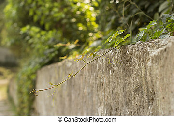 vine on a stone wall