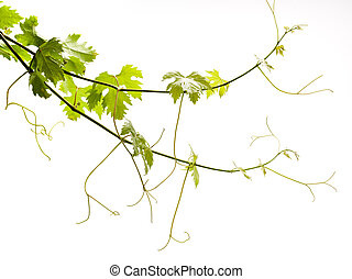 vine on a white background - Grape young green leaves on a ...