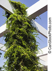 Bright green climber plant using a white pergola to support its growth.