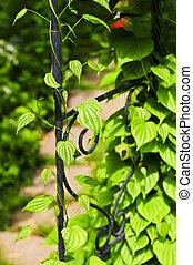 Vine on wrought iron arbor - Closeup on green yam vine ...