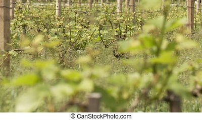 Vine Plants - video footage of vine growing in south tyrol,...