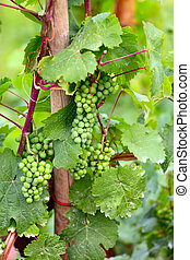 Vine plants with grape fruits by Saarburg, Rheinland-Pfalz,...