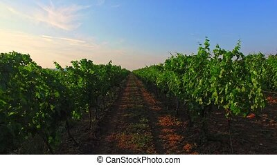 Vine production concept - Path between rows of growing...