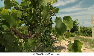 Vine - Rows of grapevines in the vineyard.