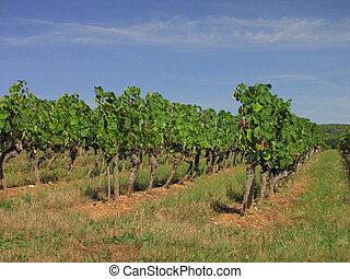 Vine, Vineyard, grapes