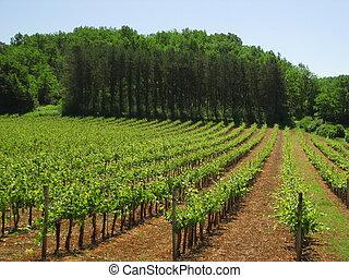 Vine, vineyard