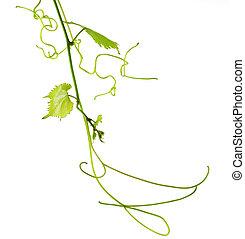 Vine vitis grapevine isolated over white background