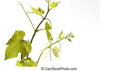 Vine with green grape leavesin white