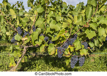 Vine with Pinot Noir Grapes Champagne - Vine in a vineyard...