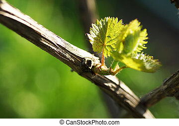Vine with young leaves. Close up.