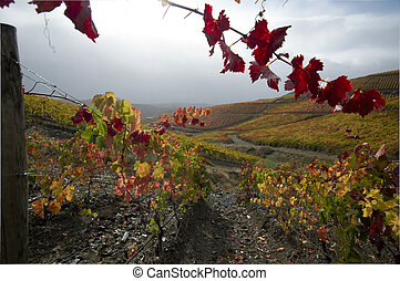 Vineards at Douro valley, Portugal