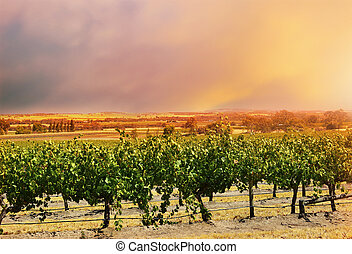 vines., barossa, filas, uva, vale