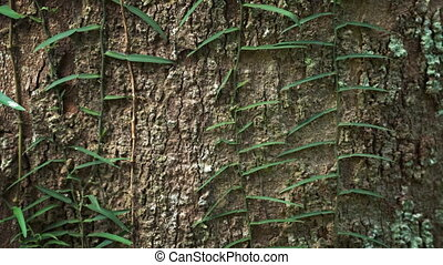 Vines Cling to the Rough Bark of a Tropical Tree - Upward...