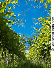 Vines grow in row blue sky - vines are planted in row blue...