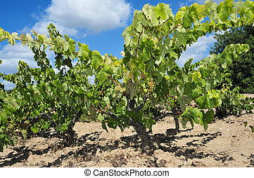 vines in a vineyard - vines with ripe grapes in a vineyard...