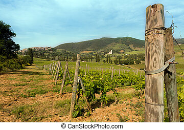 Vines in Tuscany
