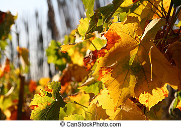 vines leaves in autumn