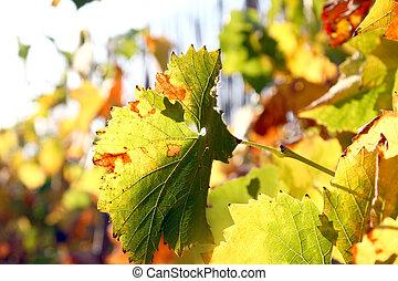vines leaves in autumn