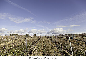 Vines of vineyards