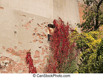 Vines on Old Wall