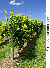 Vines Growing In A Vineyard On A Hill Side