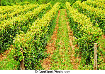 Vines - Rows of green vines growing in a field