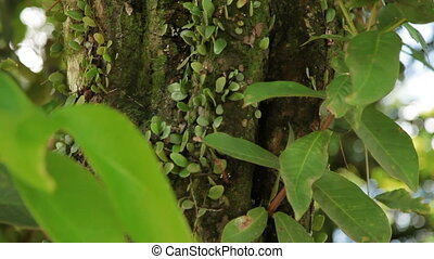 Vines wrap around tree trunk. Nature in Bali, Indonesia.